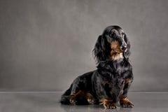 Czarnego psa trakenu jamnik na tle Fotografia Stock