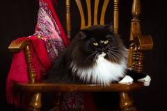 Czarnego purebred kota Syberyjski lying on the beach na krześle zdjęcie stock