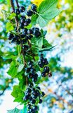 Czarnego rodzynku gałąź z jagodami w ogródzie obrazy royalty free