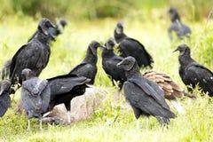 Czarnego sępa Coragyps atratus łasowanie obrazy stock