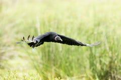 Czarnego sępa Coragyps atratus fotografia stock