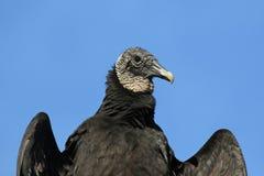 Czarnego sępa zakończenie Zdjęcia Royalty Free