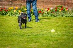 Czarnego Staffordshire Bull terrier psa działający cyzelatorstwo po tym jak tenisowa piłka rzucająca mężczyzną na trawie w podwór obraz royalty free