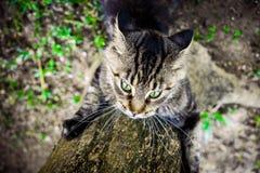 Czarnego tabby Maine coon kota figlarnie ostrzyć swój Zdjęcia Stock