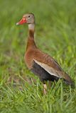 czarnej bellied gwizdanie kaczki Fotografia Stock