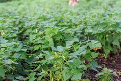 Czarnej fasoli pola rośliny w Nikaragua Obraz Stock