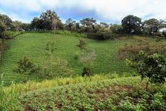 Czarnej fasoli pola rośliny w Nikaragua Zdjęcie Royalty Free