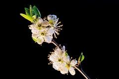 czarnej gałęziastej wiśni odosobniony drzewo Obraz Stock