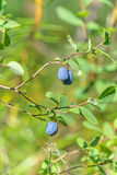 Czarnej jagody błonie (vaccÃnium uliginà ³ suma) Obraz Royalty Free