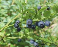 Czarnej jagody gałąź w lesie Fotografia Stock