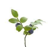 czarnej jagody gałęziasta dof płycizna Zdjęcie Royalty Free