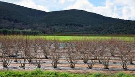 Czarnej jagody kultywacja w wsi Obrazy Royalty Free