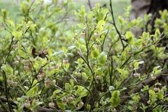 Czarnej jagody kwitnąca wiosna Obraz Stock