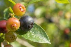 Czarnej jagody owoc Obraz Royalty Free