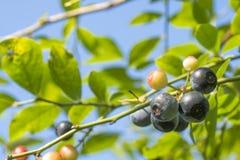 Czarnej jagody owoc Obrazy Royalty Free
