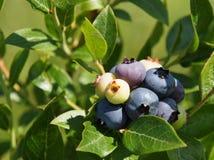 Czarnej jagody wiązka Zdjęcie Royalty Free