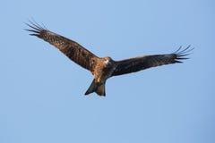 Czarnej kani latanie Obrazy Royalty Free