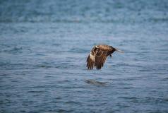 Czarnej kani Milvus migrans Zdjęcie Royalty Free