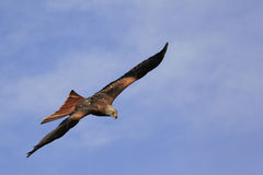 Czarnej kani, Milvus migrans w locie/ Obrazy Stock