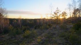 Czarnej sosny las w zmierzchu świetle, drzewa zdjęcie wideo