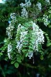 Czarnej szarańczy kwiaty Fotografia Stock