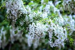Czarnej szarańczy kwiaty Obrazy Royalty Free