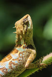 Czarnej twarzy jaszczurka, drzewna jaszczurka na drzewie Zdjęcie Royalty Free