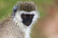 Czarnej twarzy małpa Obraz Royalty Free