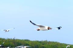 Czarnej twarzy Seagulls Obraz Royalty Free
