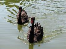 Czarni łabędź Zdjęcia Royalty Free
