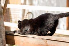 Czarni Brytyjscy kotów spacery na drewnianym ogrodzeniu i narysach jego drapa Obrazy Stock