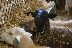 Czarni cakle i biali sheeps jedzą siano, gospodarstwo rolne zdjęcia royalty free