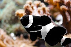 Czarni clownfish w akwarium fotografia stock