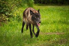Czarni faza Popielatego wilka Canis lupus bryki Wyprostowywają Zdjęcie Royalty Free