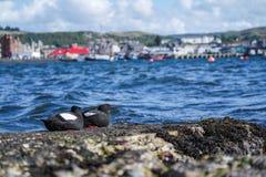 Czarni Guillemots na molu w Szkocja Zdjęcie Royalty Free