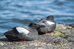 Czarni Guillemots na molu w Szkocja Zdjęcia Stock