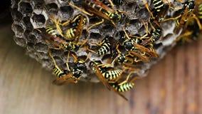 Czarni I Żółci szerszenie Buduje roju gniazdeczko zbiory