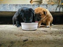 Czarni i beżowi colour szczeniaki pije mleko obrazy royalty free