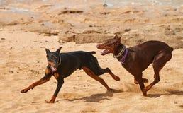 Czarni i brown Dobermans zdjęcia royalty free