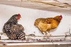 Czarni i brown kurczaki w henhouse na farm_ zdjęcie royalty free