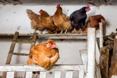 Czarni i brown kurczaki w henhouse na gospodarstwie rolnym Kurczaki ja obraz royalty free