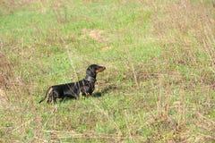 Czarni i dębni jamników polowania w polu Fotografia Royalty Free