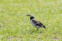 Czarni kołnierzaści szpaczków ptaki karmi na zielonej trawy polu Zdjęcie Stock