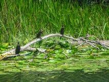 Czarni kormorany są jeden znacząco przyciągania Jeziorny Skadar park narodowy zdjęcie royalty free