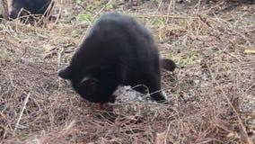 Czarni koty jedzą ryba zbiory
