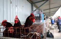 Czarni kurczaki sprzedający przy zwierzę domowe rynkiem Zdjęcia Stock