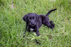Czarni Lab pupies Zdjęcia Stock