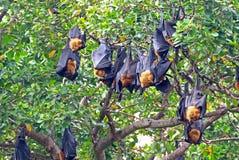Czarni latający lisy wiesza, na drzewnym Tajlandia Fotografia Royalty Free