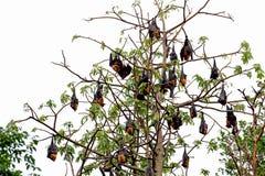 Czarni latający lisy wiesza, na drzewnym Tajlandia Zdjęcia Stock