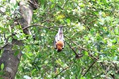 Czarni latający lisy wiesza, na drzewnym Tajlandia Obrazy Stock